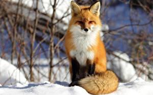Hintergrundbilder Füchse Winter Schnee
