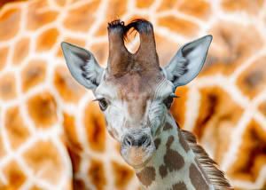 Bilder Giraffe Schnauze Kopf