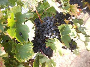 Hintergrundbilder Weintraube Ast Blatt Lebensmittel