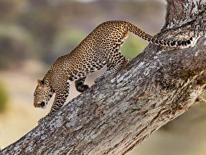 Pictures Leopards Trunk tree