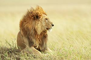 Fotos Löwen Starren Gras ein Tier