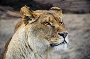 Hintergrundbilder Löwen Löwin Starren Schnauze