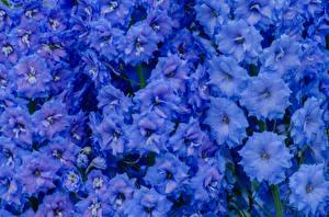 Fotos Levkojen Großansicht Hellblau