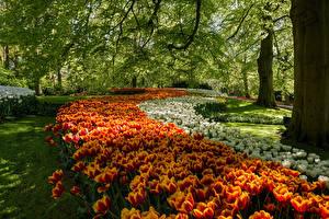 Fotos Niederlande Park Tulpen Bäume Keukenhof