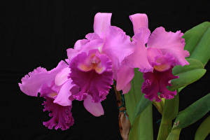 Image Orchid Closeup Black background Pink color Flowers