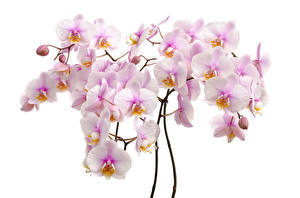 Wallpapers Orchid Closeup White background Flowers