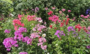 Bilder Phlox Mehrfarbige Blumen