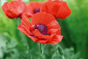 Fotos Mohnblumen Hautnah Rot Blüte