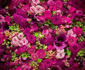 Bilder Rose Drachenwurz Violett