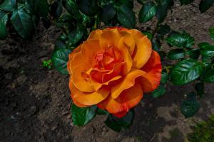 Pictures Roses Closeup Orange Flowers