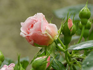 Fotos Rose Rosa Farbe Blütenknospe Blüte