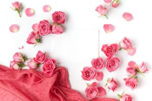Fotos Rosen Rosa Farbe Weißer hintergrund Vorlage Grußkarte