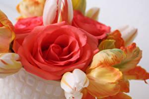 Fotos Rosen Tulpen Großansicht Blumen
