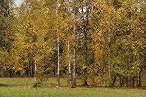 Fotos Russland Sankt Petersburg Parks Herbst Bäume Birken Gatchina Palace park