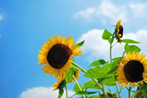 Fotos Sonnenblumen Himmel