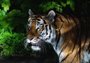 Hintergrundbilder Tiger Starren Schnurrhaare Vibrisse