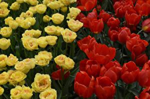 Photo Tulips Closeup Flowers