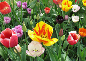 Picture Tulips Multicolor flower