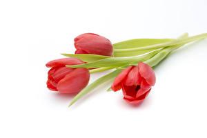 Hintergrundbilder Tulpen Weißer hintergrund Drei 3 Rot Blumen