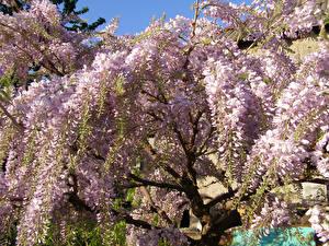 Bilder Wisterie Ast Blumen