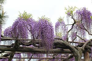 Hintergrundbilder Wisterie Ast Blumen