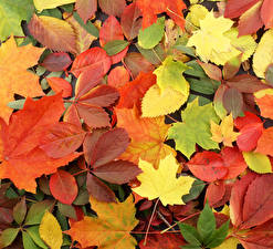 Bilder Herbst Großansicht Blatt Mehrfarbige Natur