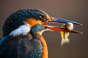 Hintergrundbilder Vögel Eisvogel Fische - Lebensmittel Schnabel Kopf