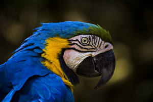 Images Bird Parrots Ara (genus) Beak Head Blue animal