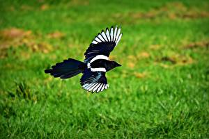 Images Birds Eurasian magpie Flight Animal Animals