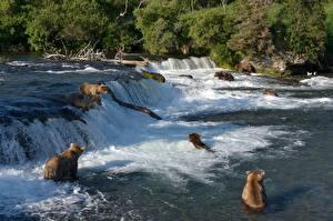 Hintergrundbilder Ein Bär Braunbär Flusse Wasserfall Fischerei
