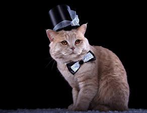 Hintergrundbilder Hauskatze Schwarzer Hintergrund Der Hut Querbinder Starren Tiere