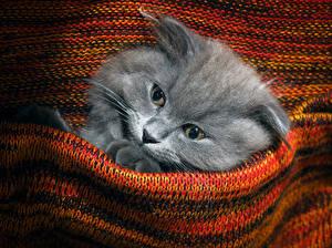 Fotos Katze Katzenjunges Schnauze Blick Sweatshirt Tiere