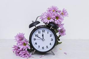 Bilder Chrysanthemen Uhr Rosa Farbe Blumen