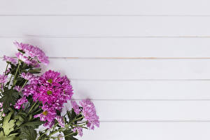 Fotos Chrysanthemen Großansicht Rosa Farbe