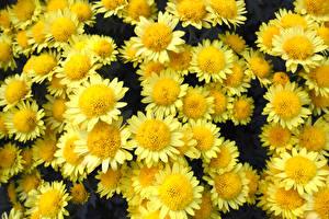 Hintergrundbilder Chrysanthemen Großansicht Gelb