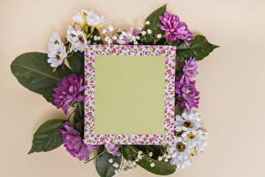 Bilder Chrysanthemen Farbigen hintergrund Vorlage Grußkarte