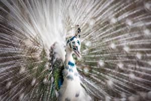 Hintergrundbilder Großansicht Vögel Pfauen Kopf