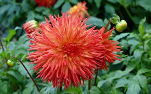 Bilder Georginen Hautnah Knospe Blumen