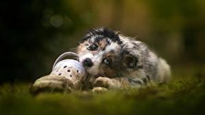 Hintergrundbilder Hund Australian Shepherd Starren
