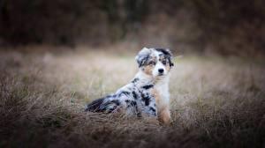 Pictures Dogs Aussie dog Grass