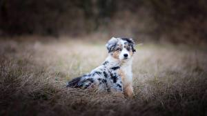 Fotos Hunde Australian Shepherd Gras