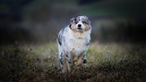 Bilder Hunde Australian Shepherd Lauf