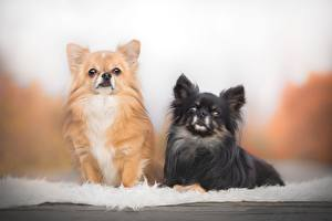Bilder Hunde Chihuahua Zwei Schwarz Ingwer farbe