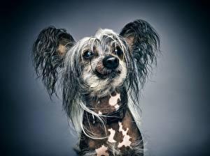 Hintergrundbilder Hunde Chinese Crested Blick Schnauze Tiere