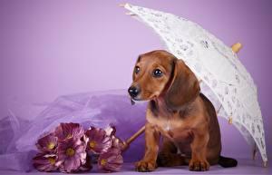 Hintergrundbilder Hunde Dackel Regenschirm Tiere