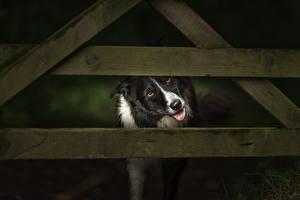 Hintergrundbilder Hunde Zaun Bretter Border Collie