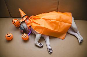 Hintergrundbilder Hunde Halloween Kürbisse Mops (Hunderasse) Der Hut Schlaf