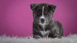 Bilder Hunde Welpe Starren Akita (Hunderasse) Graues Tiere