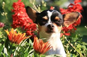 Bilder Hunde Schnauze Chihuahua Kopf