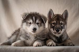 Hintergrundbilder Hunde 2 Welpe Siberian Husky Starren